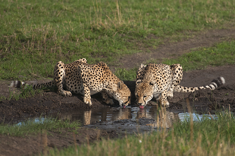 Cheetah drinking water