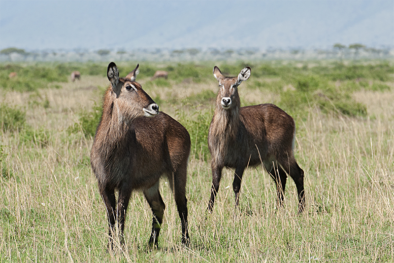 Common Waterbuck - Female