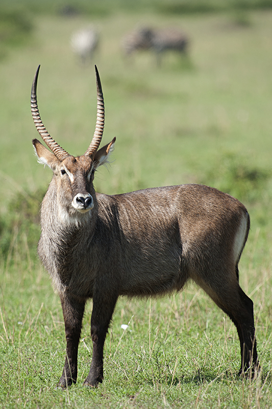 Common Waterbuck - Male