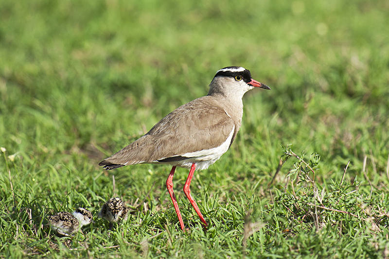 Crowned Plover with chicks