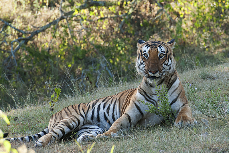 Bengal Tiger - Glare