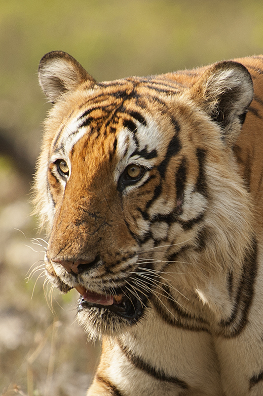 Best of 2015 - Bengal Tiger
