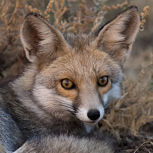 Best of 2015 - Desert Fox