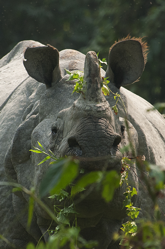 Best of 2015 - Indian Rhinoceros
