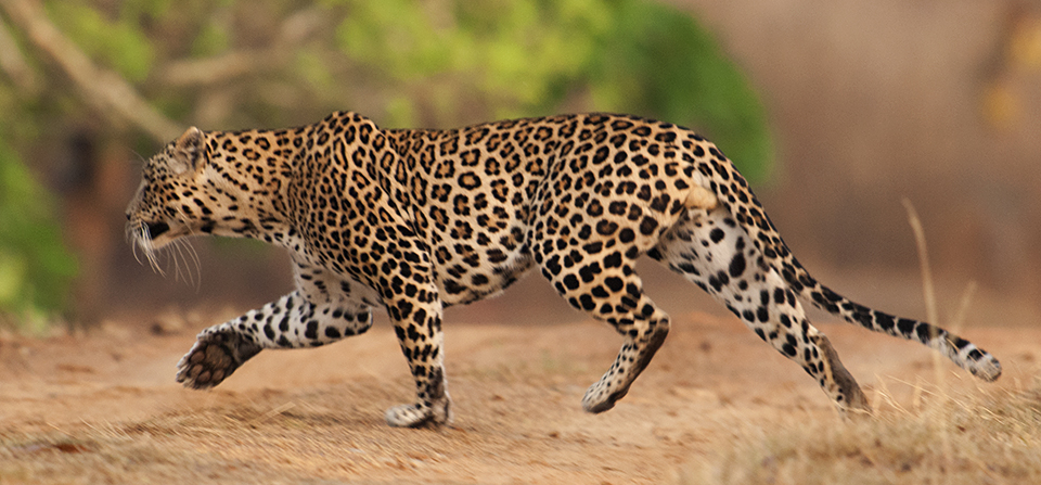 Best of 2015 - Leopard