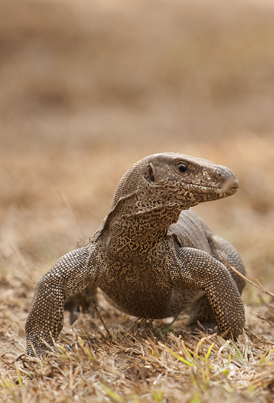 Best of 2015 - Monitor Lizard