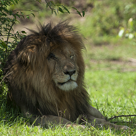 Mr. Scar face – King of Masai Mara