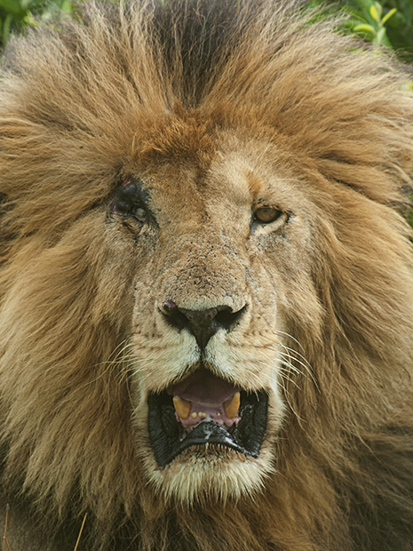 Portraits of the scar face King in Masai Mara