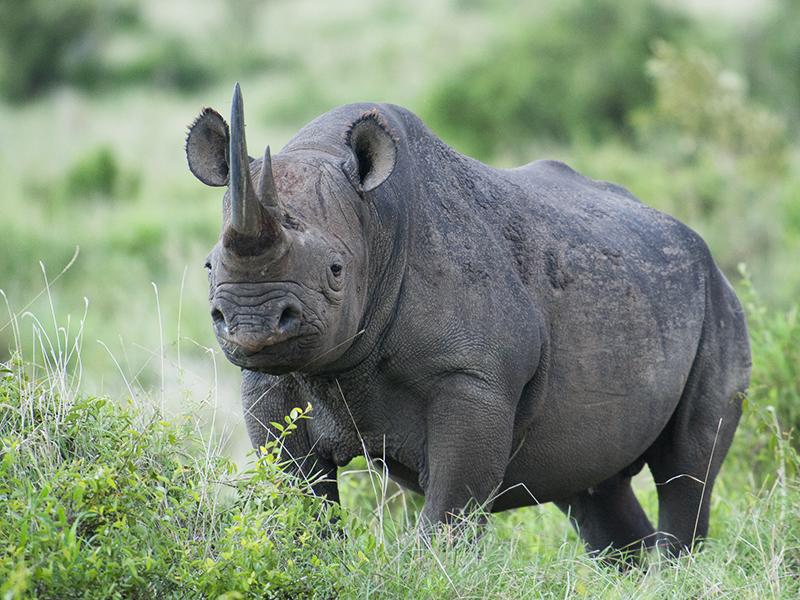In the twilight zone with Black Rhinoceros in Maasai Mara