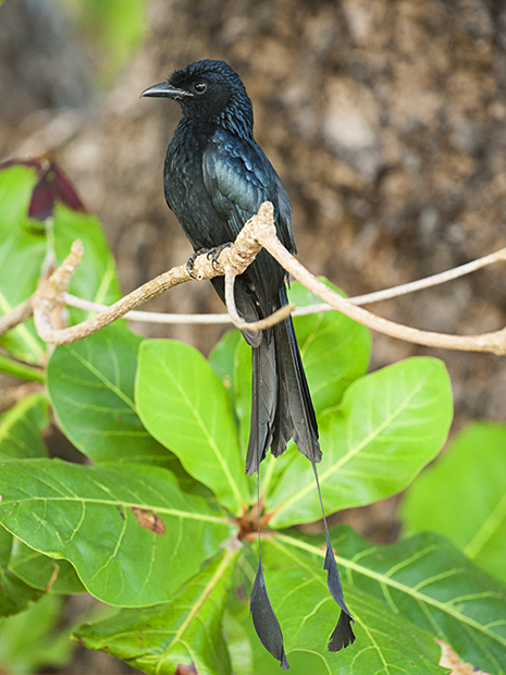 Portraits of a Racket-tailed Drongo in Havelock Island