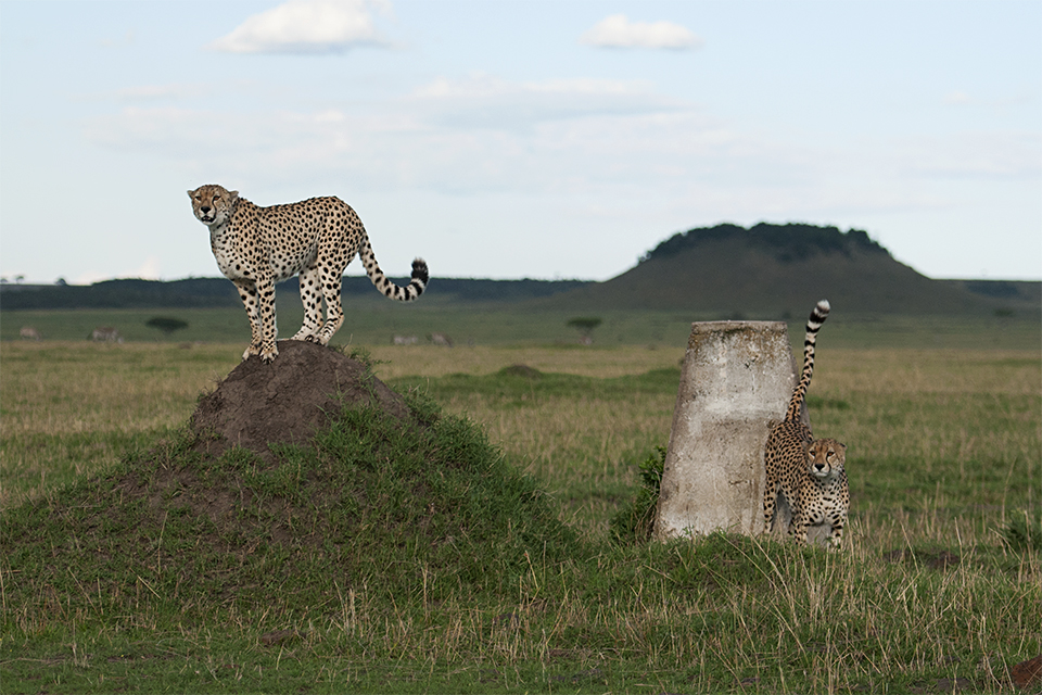 Cheetahs at the Kenya-Tanzania border in Maasai Mara