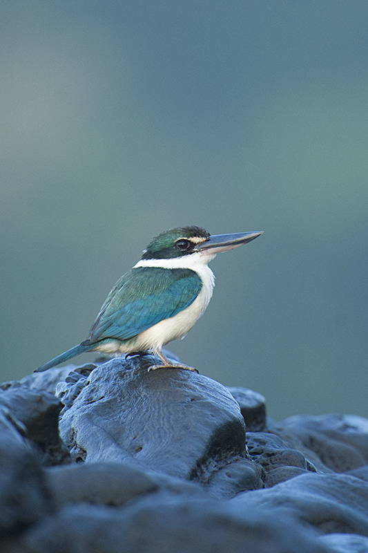 Friendly Collared Kingfishers of Neil's Cove – Havelock Island