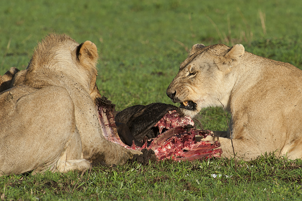 Lions at Wildebeest Kill
