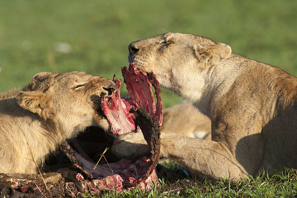 African Lion pride at a Wildebeest Kill