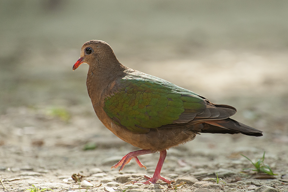 Emerald Dove at Barefoot – a birding paradise