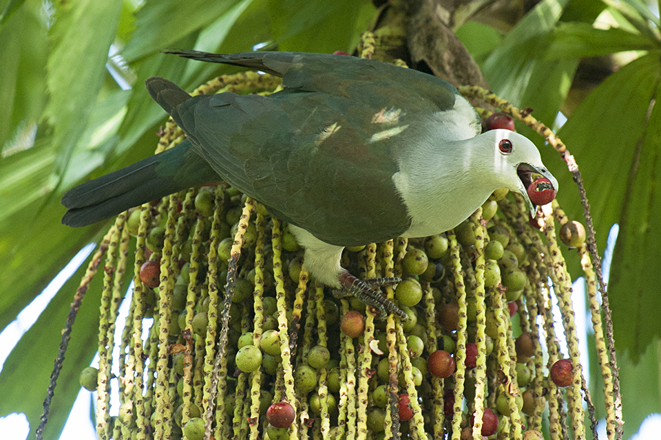Caught red-handed at Barefoot: Green Imperial Pigeons