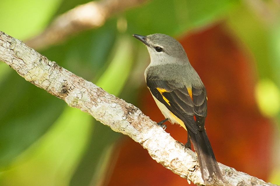 Small Minivet - Female