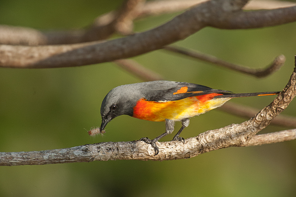 Scouting for breakfast with a Minivet couple in Havelock Island