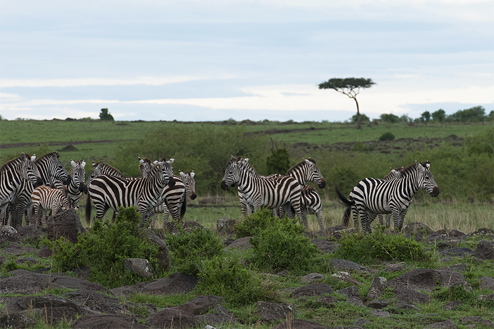 Zebra Crossing Mara