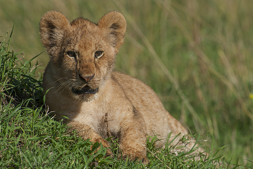 Photo Shoot with Lion cubs in Maasai Mara