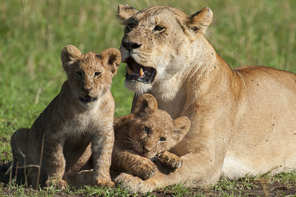 Lion cubs spotted in Maasai Mara