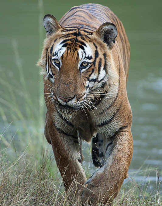 Prince of Bandipur – Spectacular sighting of a Bengal Tiger