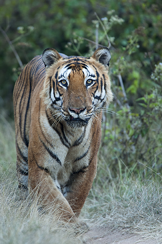 Tiger roadblock – Prince of Bandipur