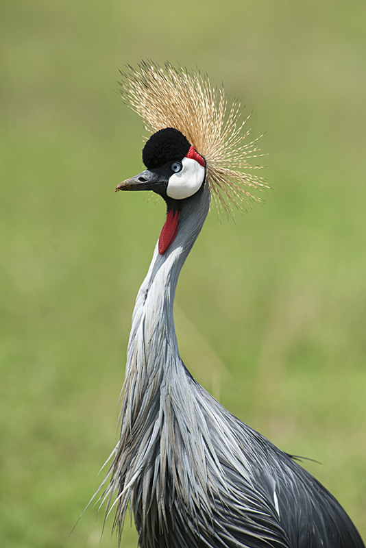 Grey Crowned Cranes in Maasai Mara