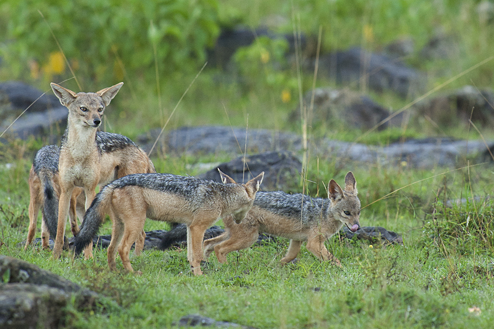 Pack of Jackal