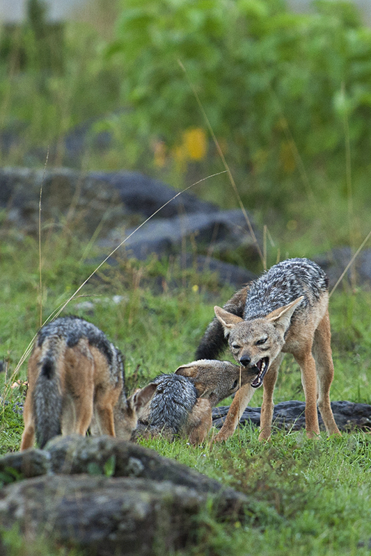 Jackal pack dynamics in Maasai Mara