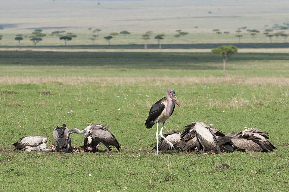 Vultures at Wildebeest Kill