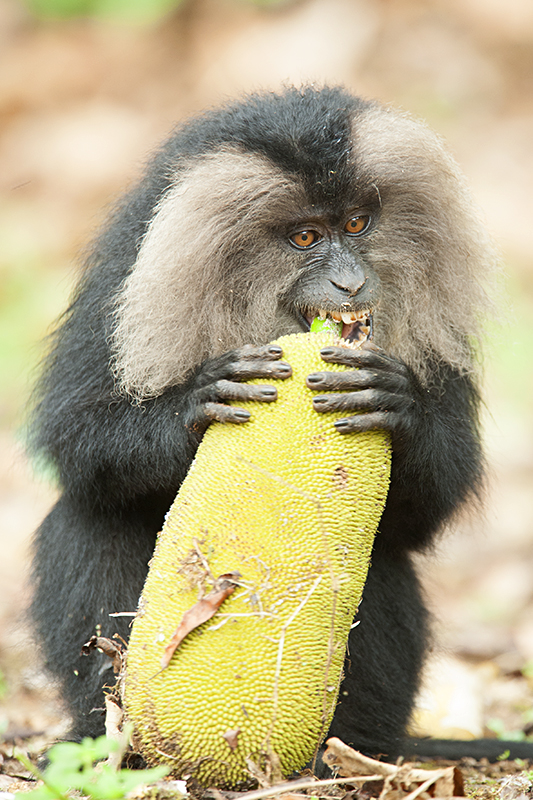 The endangered Lion-tailed Macaques of India