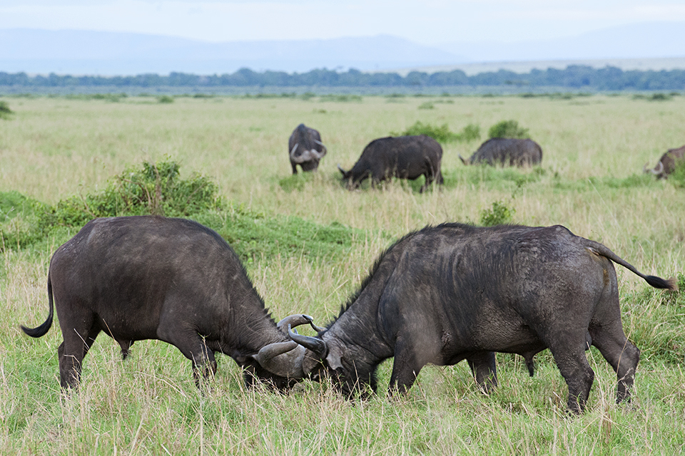 Sparring Cape Buffaloes