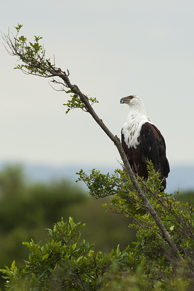birds-of-mara-african-fish-eagle
