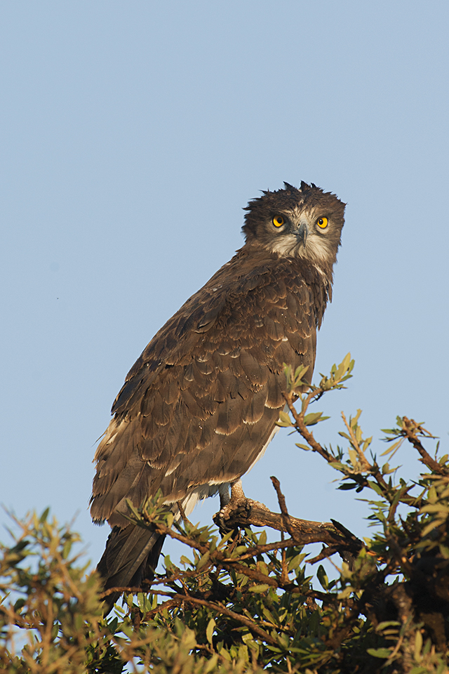 Eye to Eye with a Brown Snake-Eagle in Maasai Mara