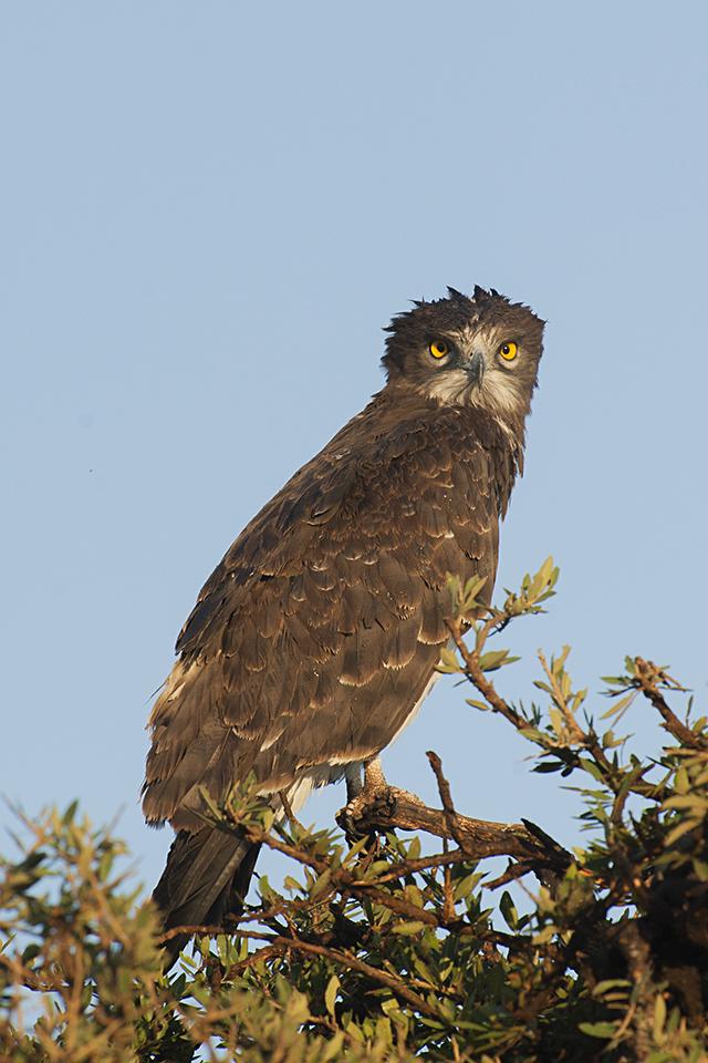 Eye to Eye with a Brown Snake-Eagle in Maasai Mara
