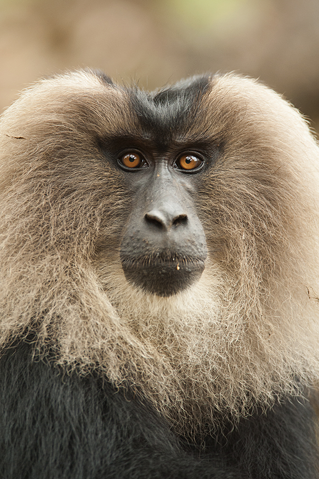 Portraits of the Alpha male in Lion-tailed Macaque society