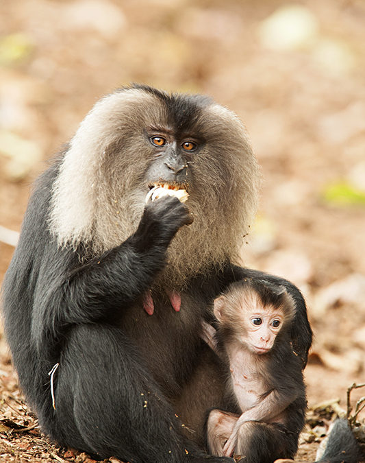 Lion-tailed Macaque foraging in a tea plantation