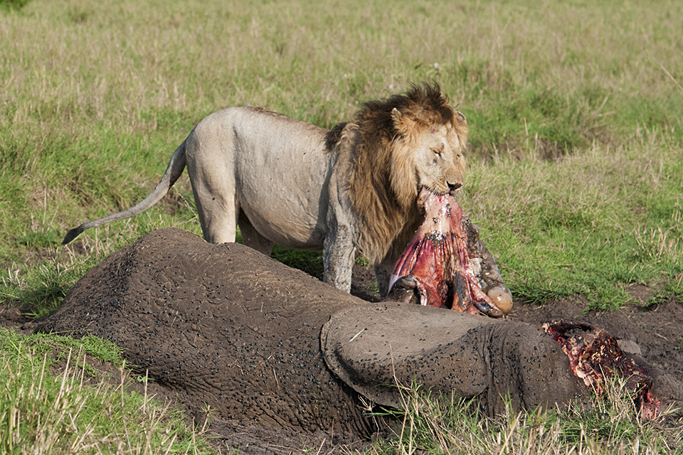 African Lion feeding on Elephant carcass