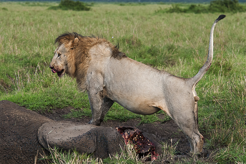 Not for the faint-hearted – African Lion feasting on Elephant carcass in Maasai Mara