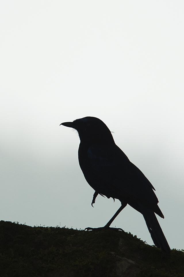 malabar-whistling-thrush