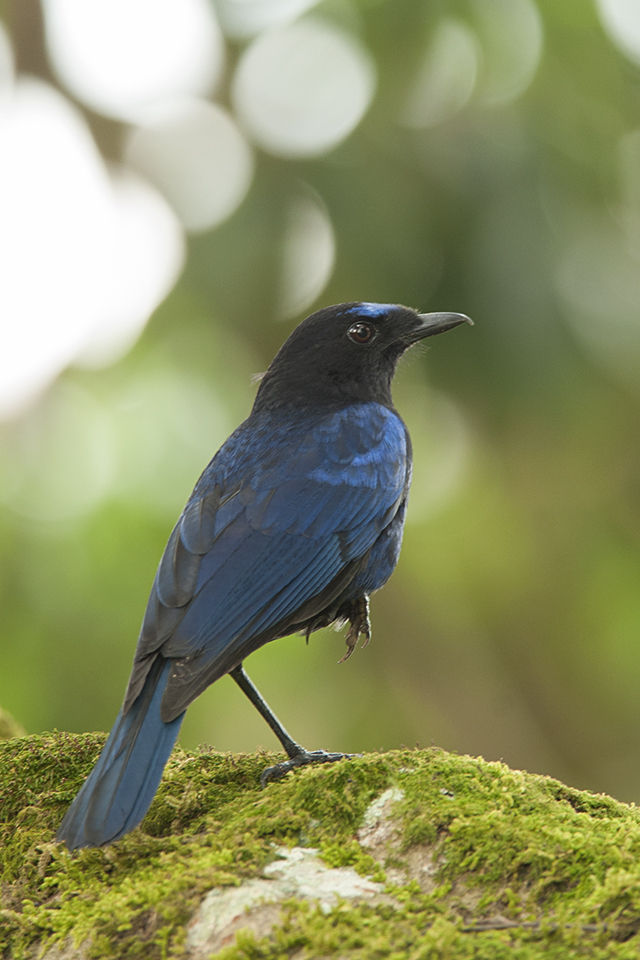 Getting close to a Malabar Whistling Thrush in Valparai