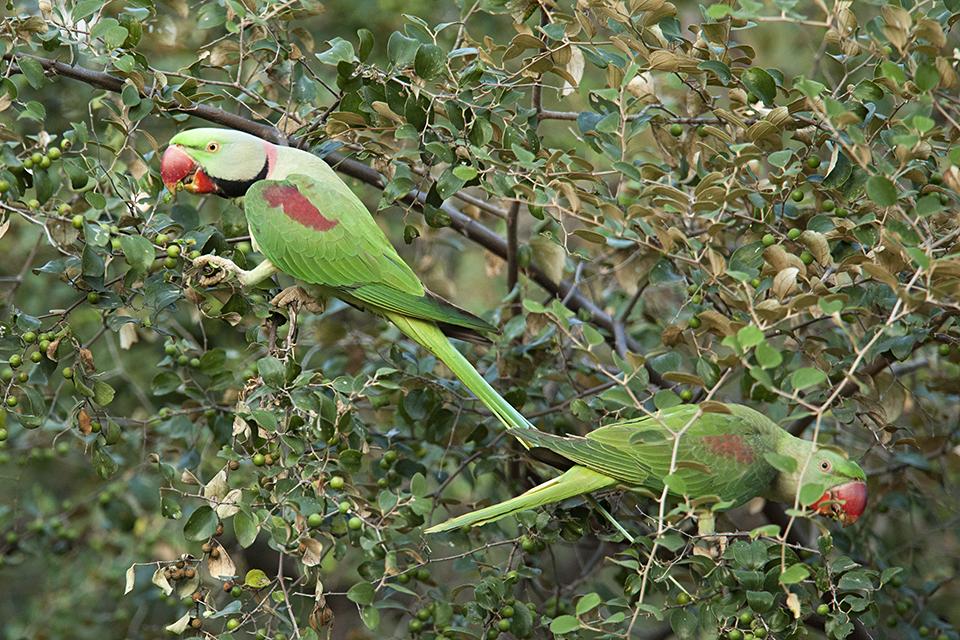 birds-of-ranthambore-alexandrine-parakeet