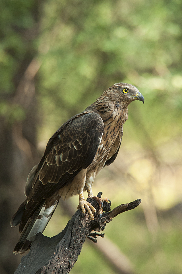 birds-of-ranthambore-honey-buzzard