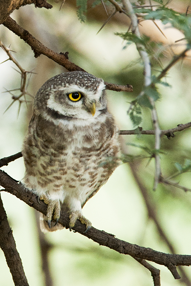 birds-of-ranthambore-spotted-owlet