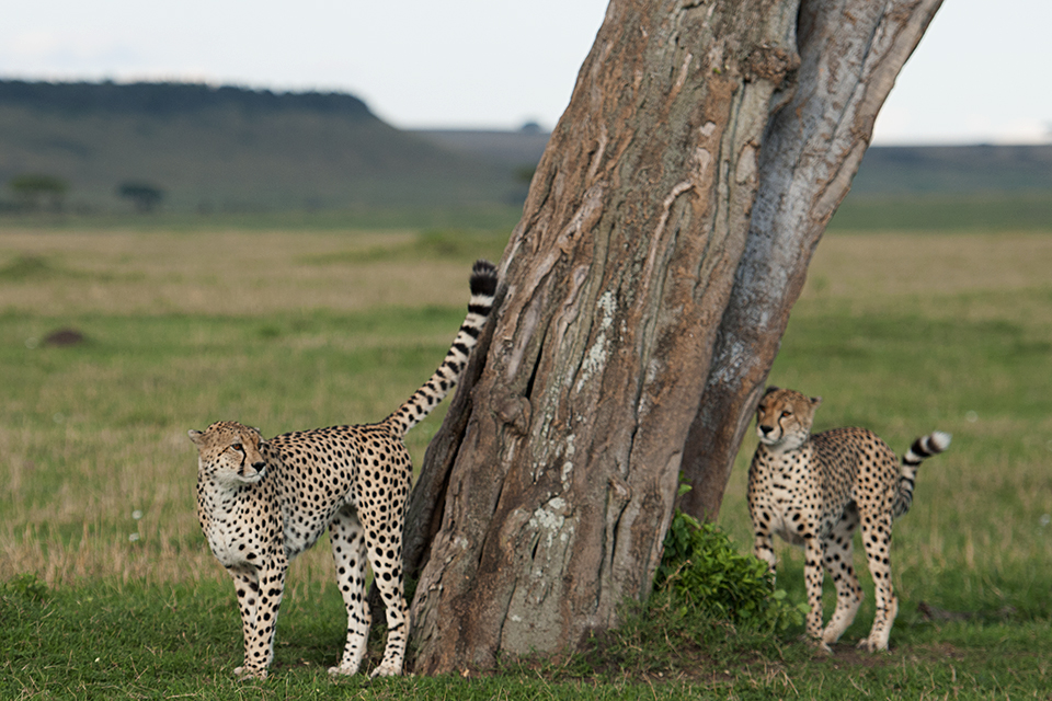 Cheetah scent marking in Maasai Mara