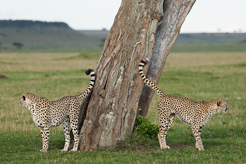 cheetah-brothers-scent-marking-3