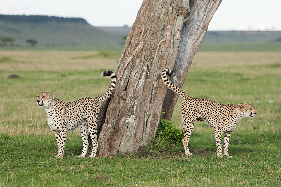 Cheetah brothers Scent Marking in Maasai Mara