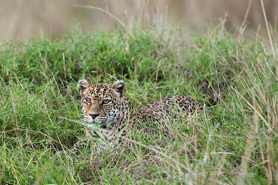 leopard-in-maasai-mara