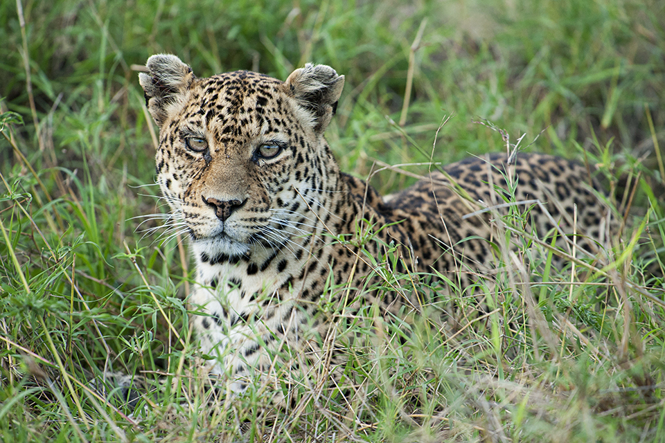 Spectacular Leopard sighting in Maasai Mara